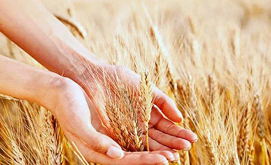 بورس کالا میزبان گندم مورد نیاز صنف صنعت و نانوایان آزادپز است