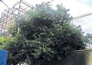 ویروس« برج باغ» در اراضی سبز