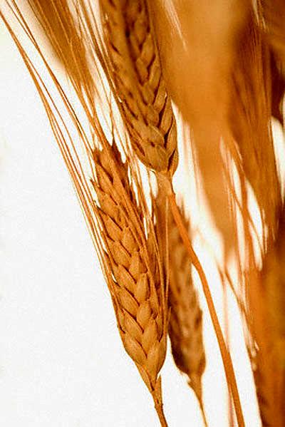 عوارض صادرات گندم و آرد تعیین شد