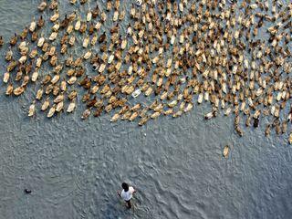 رژه اردک